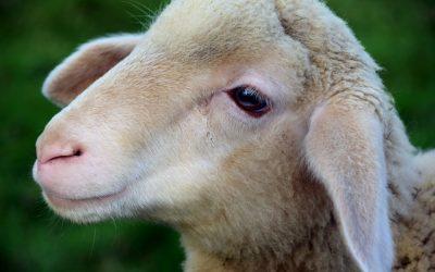 Un demi-mouton ?